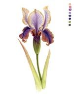 Rainbow Iris II Framed Print
