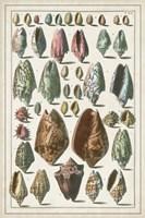 Grand Seba Shells I Fine Art Print