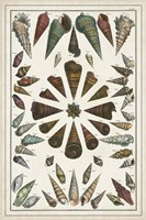 Grand Seba Shells II Fine Art Print