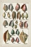 Grand Seba Shells III Fine Art Print