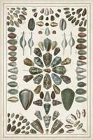 Grand Seba Shells IV Fine Art Print