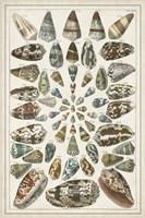 Grand Seba Shells V Fine Art Print