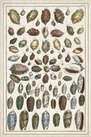 Grand Seba Shells VI Fine Art Print