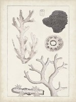 Antique White Coral II Framed Print