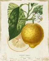 French Lemon I Framed Print