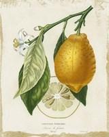 French Lemon II Framed Print