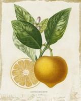 French Lemon III Framed Print