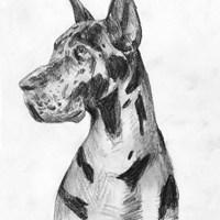 Great Dane Portrait I Fine Art Print