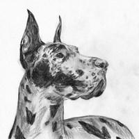 Great Dane Portrait II Fine Art Print
