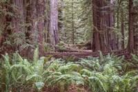 Get Lost In The Redwoods Fine Art Print