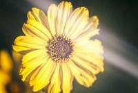 California Floral Love In Yellow Retro Fine Art Print