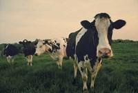 Cows at Sunset Fine Art Print