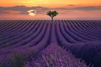 For the Love of Lavender Fine Art Print