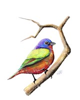 Songbirds- Painted Bunting Fine Art Print