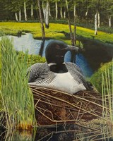 Loon on nest Fine Art Print