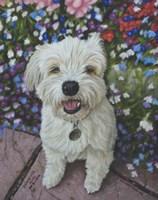 Little Ozz the Pomeranian Poodle Cross Fine Art Print