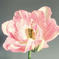 Pink Bloom Fine Art Print