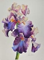 Florentine Iris Fine Art Print