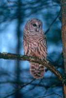 Barred Owl Fine Art Print