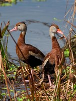 Black Bellied Whistling Duck Fine Art Print