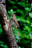 Brown Thrasher Fine Art Print