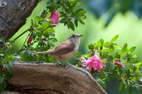 Carolina Wren Fine Art Print