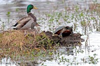 Mallards Freaking Squater Fine Art Print