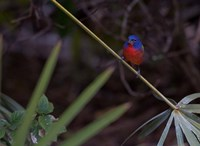 Painted Bunting Male Fine Art Print