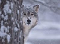 Wolf Watching Fine Art Print