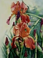 Iris Fine Art Print