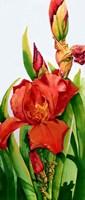 Red Iris Fine Art Print