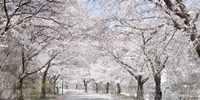 Cherry Blossom Lane Framed Print