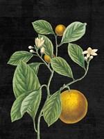Classic Citrus VI Black No Words Framed Print