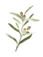 Sweet Olive Branch II Framed Print