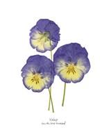 Pressed Violas I Fine Art Print