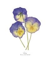 Pressed Violas II Fine Art Print