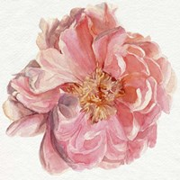 Blossomed Peony I Framed Print