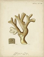Ecru Coral II Framed Print