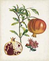 Grenadier a fruit doux Fine Art Print