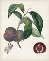 Peche Cardinale Fine Art Print