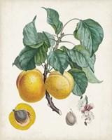 Abricot- Peche Fine Art Print