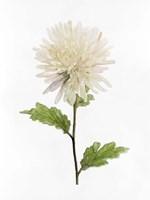 White Blossom IV Framed Print