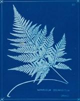 Cyanotype Ferns II Framed Print
