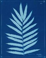 Cyanotype Ferns III Framed Print