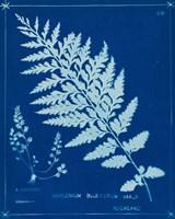 Cyanotype Ferns IV Framed Print