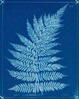 Cyanotype Ferns IX Framed Print