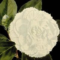 Dramatic Camellia IV Fine Art Print