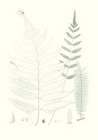 Verdure Ferns II Framed Print