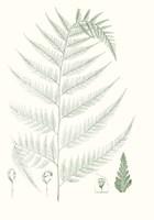 Verdure Ferns III Framed Print