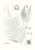 Verdure Ferns VIII Framed Print